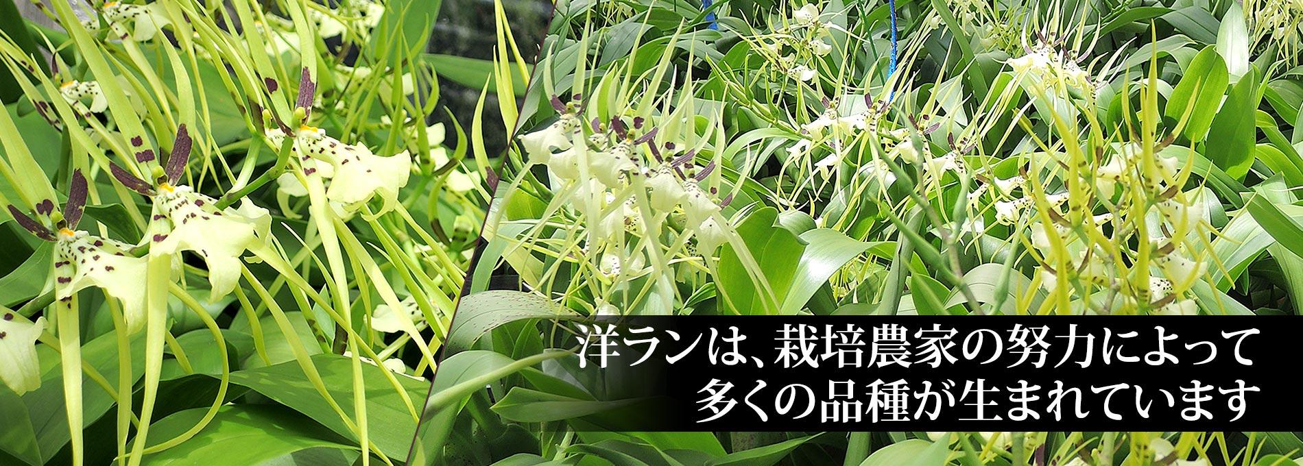 胡蝶蘭、カトレアなどの洋ランは、栽培農家の努力によって多くの品種が生まれています