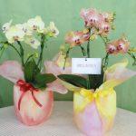 母の日:胡蝶蘭・カトレアギフトの直売所|千葉県館山の洋蘭生産農家の早かわ洋蘭