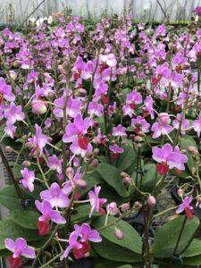 個性的な「キュートエンジェル」:胡蝶蘭・カトレアギフトの直売所|千葉県館山の洋蘭生産農家の早かわ洋蘭